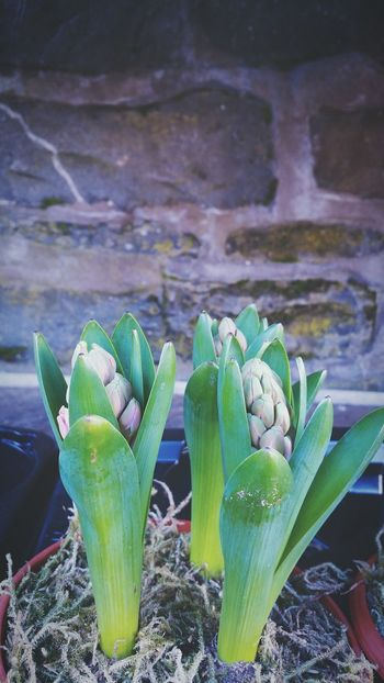 ... future Hyacinths ... Plant Growth Green Color Buds Bulbs Shop Display Spring Signs Of Spring Garden Centre Freshness Fragility Close-up No People Leaf Outdoors Flowerpot Future Hope Promise Beginnings Flowers Gardening Adapted To The City