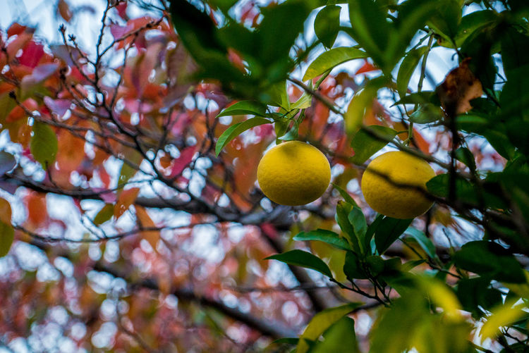 Streetphotography Street EyeEmNewHere Tree Fruit Plant Healthy Eating Leaf Food Plant Part Food And Drink Growth Freshness Branch Low Angle View Fruit Tree Yellow No People Day Focus On Foreground Citrus Fruit Nature Wellbeing Outdoors Ripe