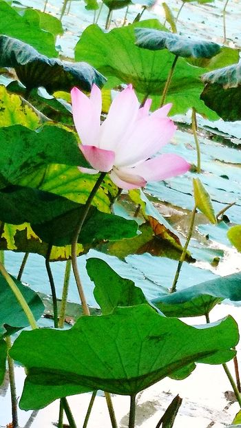 Nature Flower Flower Head Lotus♥ Lotus Flower Lotus Lake Beauty In Nature Outdoors Lotus Leaves