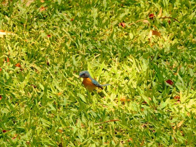 blue-and-yellow tanager bird Bird Bird Photography Bird Watching Birds Birds Of EyeEm  Birds_collection Birds_n_branches Birdwatching