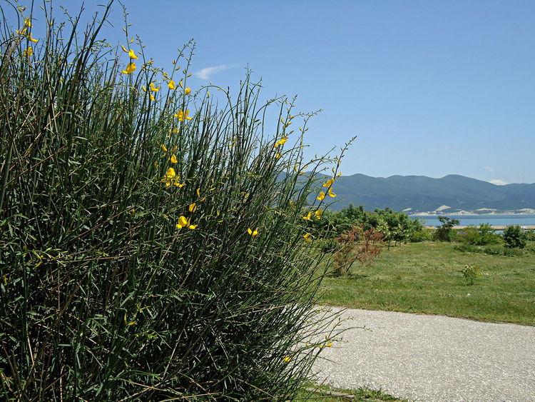 Bush City Footpath Grass Green & Blue Green & Yellow Novorossiysk Plants Quay Sea Spartium Spring Street Sunny Day Tranquil Days Tranquil Live Vegetation Verdure