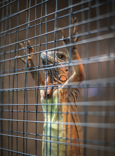 Little Dragon as a pet being confined in a cage like a prisoner. Cage Animals In Captivity Animal Animal Themes Animal Wildlife Vertebrate One Animal Monkey Trapped Primate Birdcage Metal No People Bird Mammal Animals In The Wild Zoo Day Selective Focus Looking At Camera Animal Head  Mouth Open