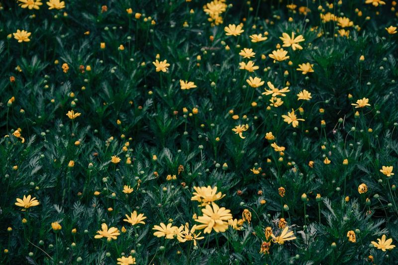 Flowering Plant Flower Plant Freshness Beauty In Nature Fragility Growth Vulnerability  Nature Yellow Field Green Color High Angle View Day No People Land Outdoors Flower Head Close-up Petal