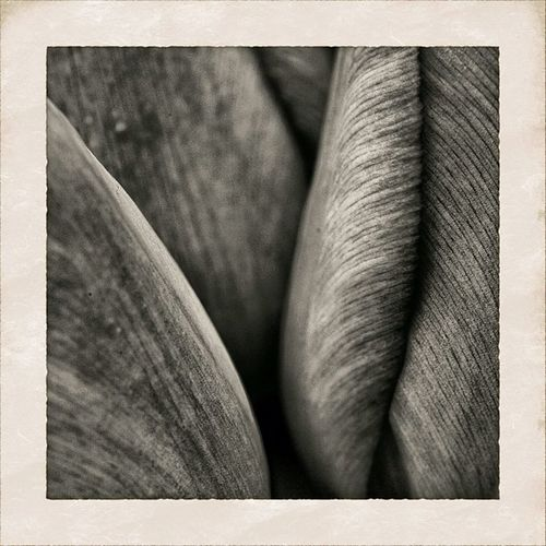 skin of the tulip Bnw Snapseed All_shots Simplyb Mono_monday Flowers Nature Camera Noir Blackandwhite Bw