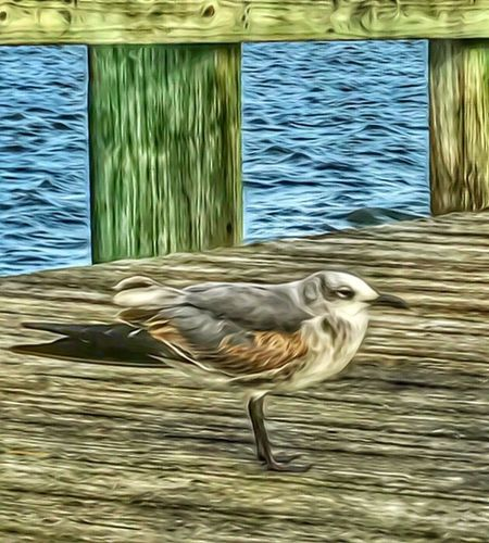 Seagull Hanging Out On A Pier on the Indian River Lagoon Animal Themes Bird No People Animals In The Wild One Animal Day Water Outdoors Nature Close-up