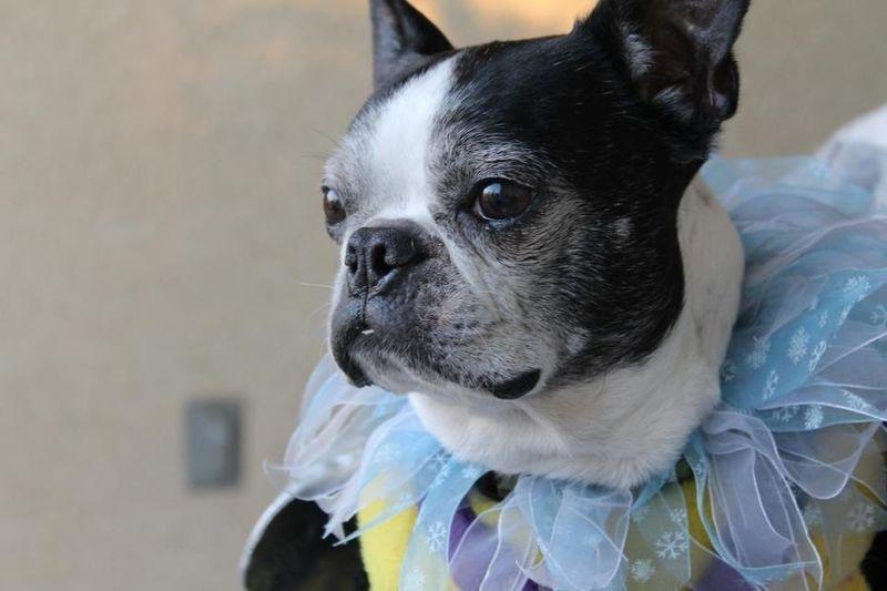 Boston Terrier Dog Costumes