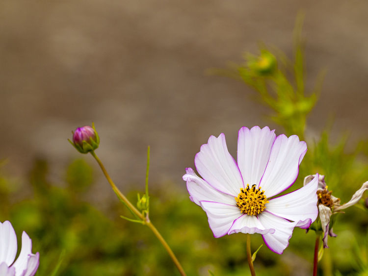 Copy Space Daisy Daisy Flower Flowers,Plants & Garden Beauty In Nature Blooming Close Up Nature Close-up Environment Floral Flower Flower Head Flowers Focus On Foreground Fragility Freshness Garden Growth Nature Outdoors Petal Pink Daisy Pink Flower Plant Space For Text
