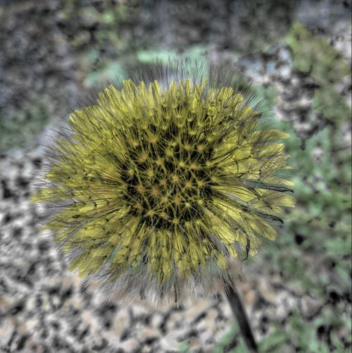 Nature Close-up Focus On Foreground Spiked Plant Day No People Growth Outdoors Flower Fragility Flower Head Beauty In Nature Freshness Abstract Nature Nature Art Double Exposure Yellow Dandellion Blackandwhite Dandelion Seed Paint The Town Yellow The Week On EyeEm