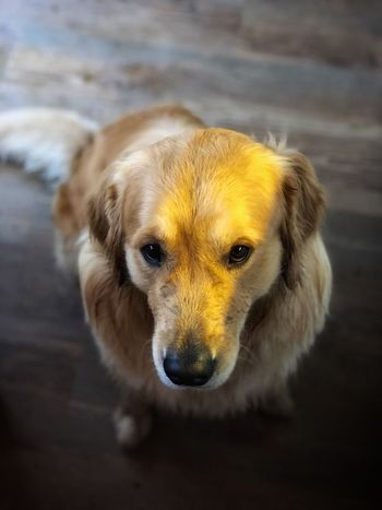 Golden Retriever Dog Photography Animal Head  Cute Dog  Cute Pets Sad Dog Haustier Golden Retrievers Golden Retriever Golden Moment Dog Pets Domestic Animals One Animal Animal Themes Mammal Looking At Camera No People Puppy Close-up Indoors