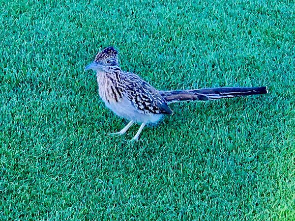 Bird One Animal Animal Themes Animals In The Wild Grass Animal Wildlife Green Color Day Outdoors Nature Full Length No People Perching Roadrunner EyeEmNewHere Check This Out Ceedubslens