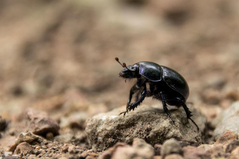 Close-up of black beetle
