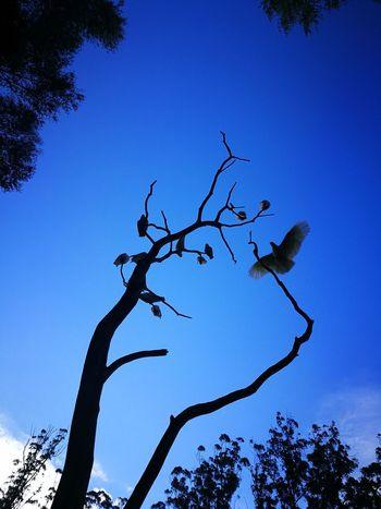 Tree Bird Clear Sky Branch Blue Silhouette Pinaceae Sky