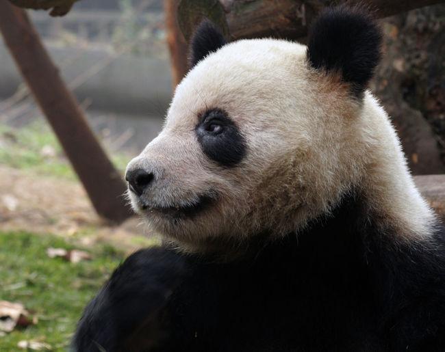 Close-up of panda
