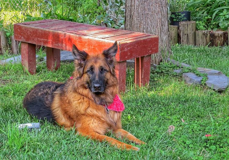An incredible dog, I was so blessed when she came into my life Bella~ I Love My Dog German Shepherd Dogs Ilovemydog Pets Dog Germanshepard Germanshepherd GSD Mypet