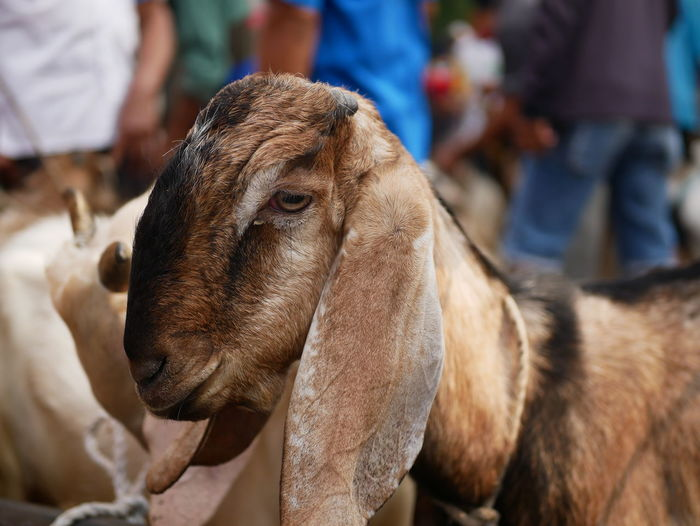 A goat or kambing  in the traditional animal markets