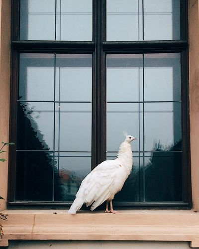 Peackock Window Bird Animal Themes Vertebrate Animal One Animal No People Glass - Material Architecture Outdoors Built Structure Animal Wildlife White Color Day