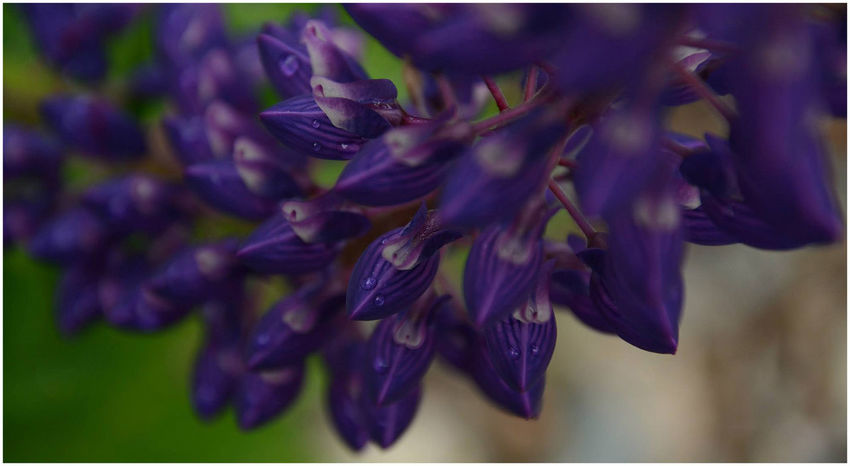 Beauty In Nature Close-up Flores Flower Fragility Freshness Lupinos Nature No People Outdoors Purple Purple Flowers Flowers And Water