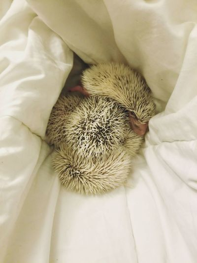 Hoglet Pile Hedgie Soft Palette Baby Bed Hoglet Baby Hedgehog Quills White Quills Low Color Close Up In Bed Comfy  Snuggle Bedtime Snooze Hedgehog Exotic Pets Baby Animal Pile White Animals Baby Animals Pets Cute Blanket White Close-up Spiked Spiky Sharp