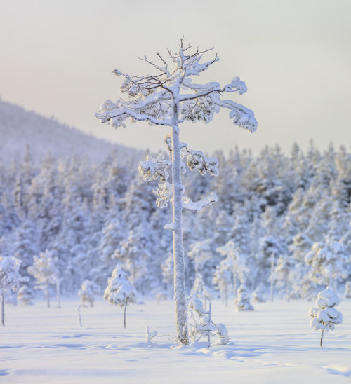 Cold winter in the north of Sweden. All is white and not a person within sight. White Beauty In Nature Swedish Nature Sweden Forest Tree Day Tranquility Winter Snow No People Cold Temperature Outdoors Frozen