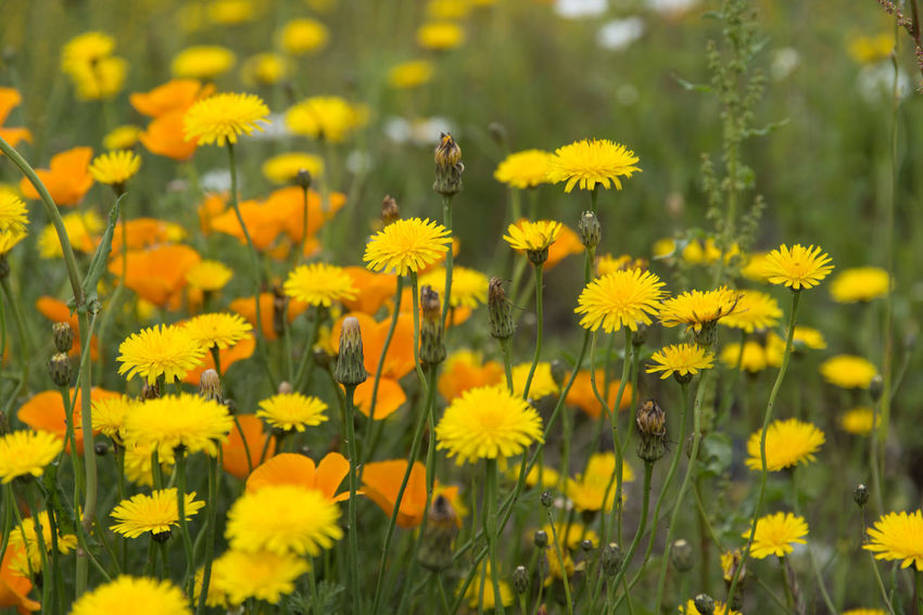 landscape near Osulloc in Jeju Island, South Korea Animal Themes Animals In The Wild Beauty In Nature Bee Blooming Close-up Day Flower Flower Head Fragility Freshness Growth Insect JEJU ISLAND  Nature No People Osulloc Outdoors Petal Plant Yellow