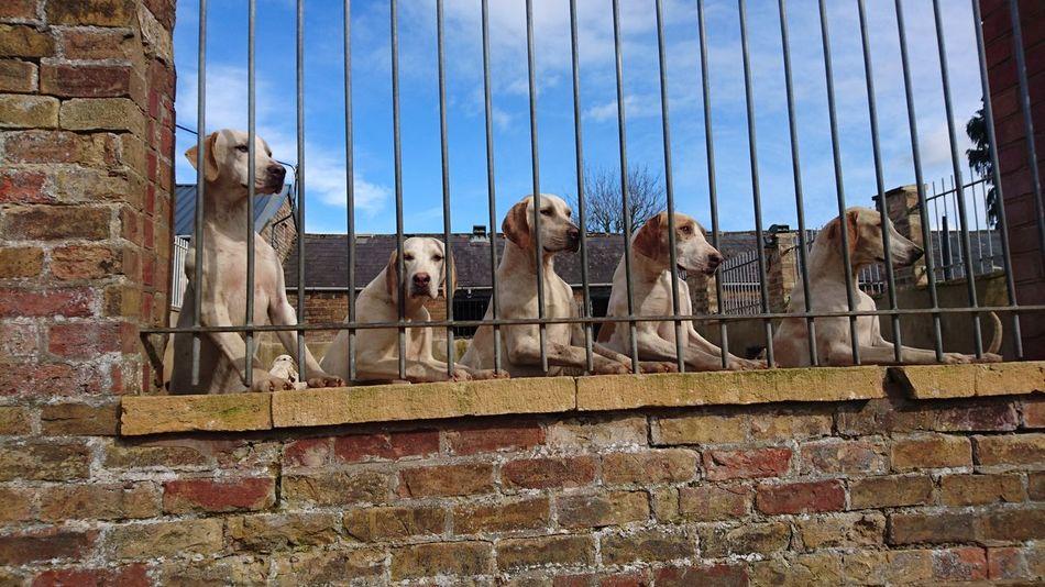 Fox Hound 🐺 HoundDog DogLove Dog Love Dogs Of EyeEm Dogs_of_instagram Dogsareawesome Doglovers Dogslife