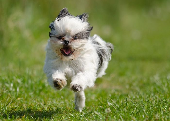 Nature Close-up Pets Grass Dog One Animal Shihtzu Shih Tzu