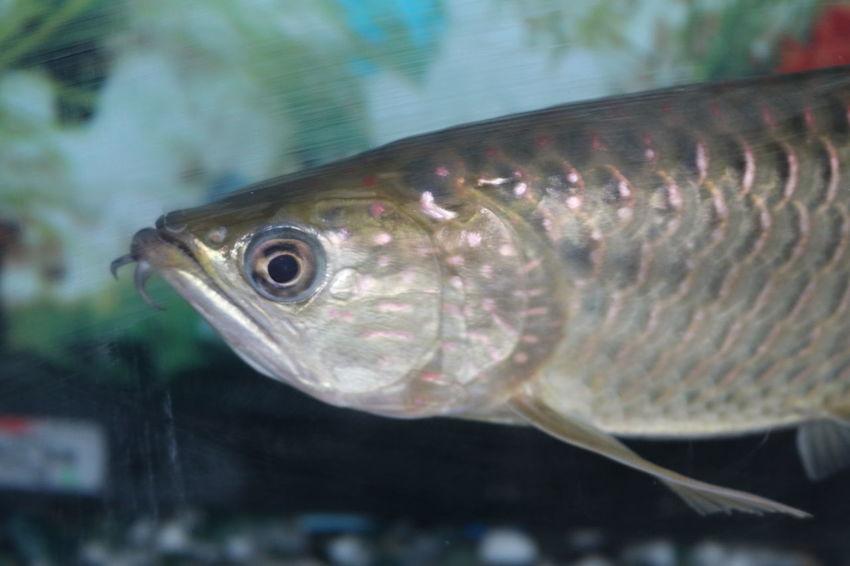 Fish Fish Selective Focus Fish Eyes Arowana Fish
