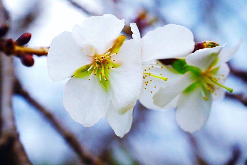 冬桜 Flower Cherry Blossoms Nature Beauty In Nature Close-up Low Angle View No People Tokyo Japan