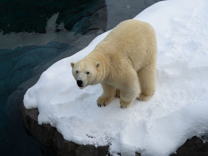 Snow Cold Temperature Winter Animal Animal Themes Bear One Animal Mammal Polar Bear White Color Animal Wildlife Animals In The Wild Nature Vertebrate No People Frozen Day Ice Outdoors