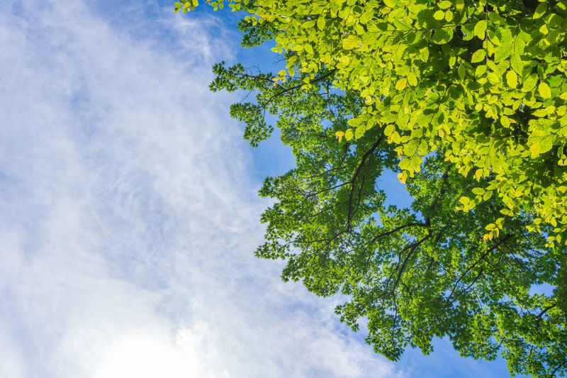 Green Leaves in front of a Sky. Air Background Blue Chlorophyll Freshness Green Growing Growth Leaves Nature Outdoor Oxygen Photosynthesis Plants Skies Sky Trees Trees And Sky Treetop Colors Colorful Colours Light Sunlight