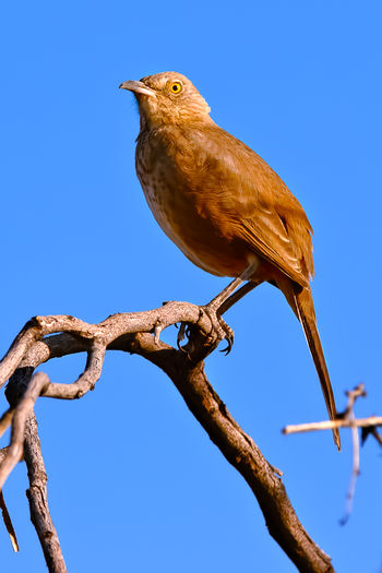 A Curved Bill Thrasher native to Arizona perched in a tree with the early morning sun shining on it. Arizona Animal Themes Animal Wildlife Animals In The Wild Beauty In Nature Bird Blue Clear Sky Close-up Curved Billed Thrasher Day Low Angle View Nature No People One Animal Outdoors Perching Sky Tree