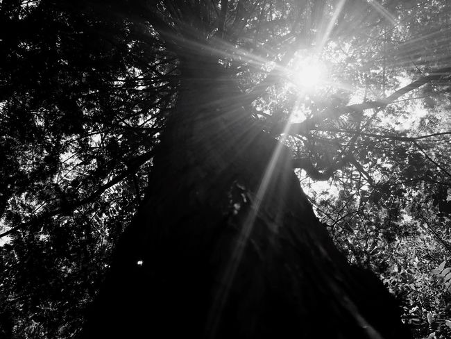 Monochrome Photography Tree Low Angle View Sunbeam Sunlight Forest Sun Outdoors Growth Beauty In Nature No People Streaming Tranquility Tranquil Scene Sunrays Branch Day Scenics Sky IPhoneography