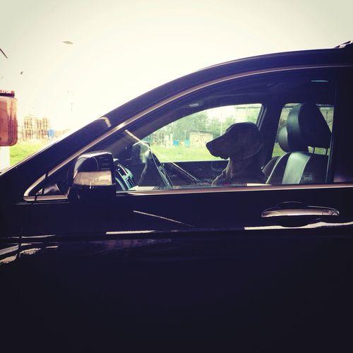 Dog driveing.