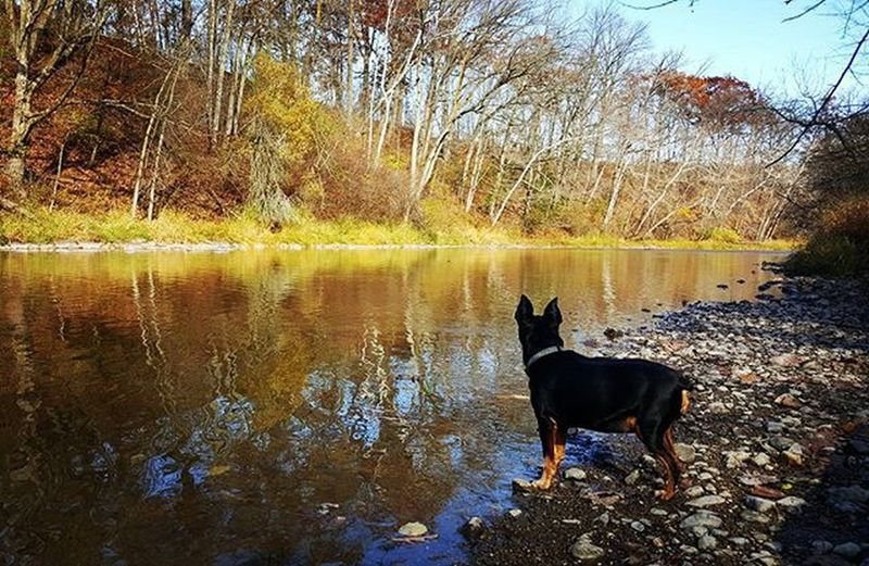 Back By The River Min Pin Lover Min Pin Miniature Pinscher Dogs In Nature Fall Fall On The River Fall Is The Best Season. Fall And Dogs Rule Of Thirds Fall2015 Adventure Club