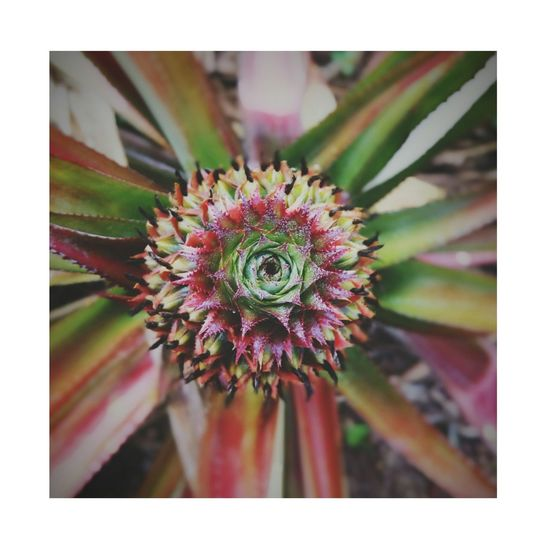 Pineapple Beauty In Nature Nature Plant Flower Flower Head Fragility Close-up Petal Growth Day Freshness No People Outdoors Springtime Thistle