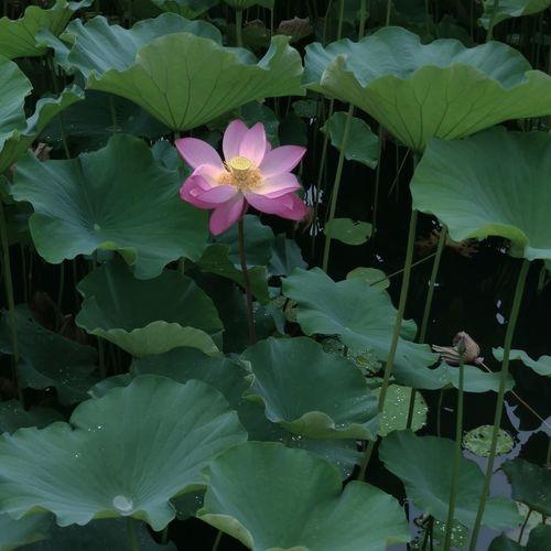 Flower Flowering Plant Water Lily Sichuan University