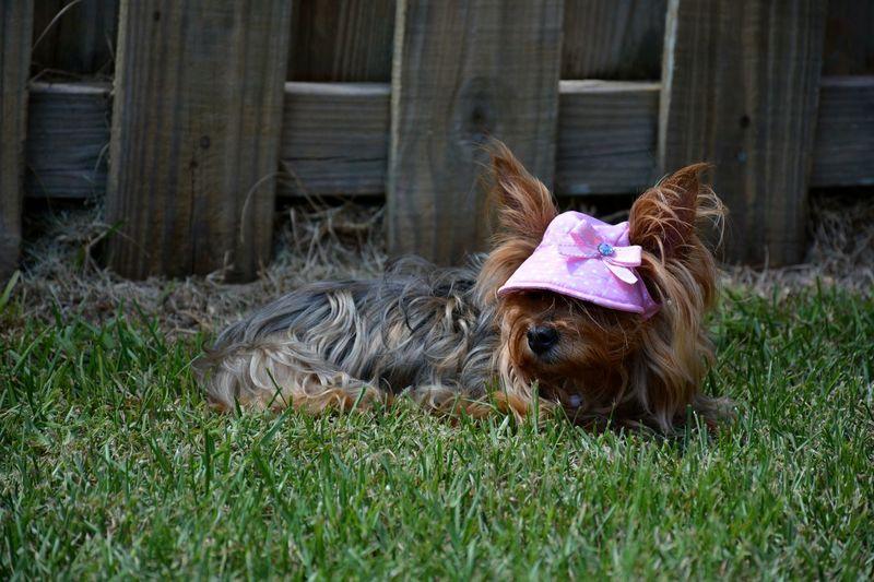 Yorkie in sun bonnet Cute Pets Cute Dog  EyeEm Selects Yorkie Yorkshire Terrier Little Dog Pets Dog Puppy Canine Sun Hat Dog Fashion Grass Terrier