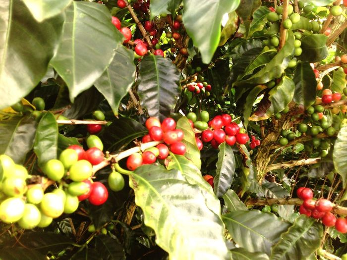 Grano de Oro, CAFÉ De Costa Rica