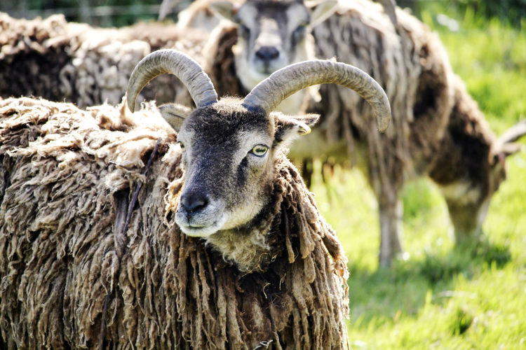 A ram in a field. Animal Animal Head  Animal Themes Animal Wildlife Animals In The Wild Close-up Day Field Focus On Foreground Herbivorous Horned Land Mammal Nature No People One Animal Portrait Ramanimal Sheep Wool