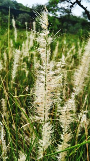 Nature Nature Photography Naturelovers Dawn Pleasant Yellow Brown Art Dry Leaves Ground Shadow No People Pattern Heart Sand Green Tree Patterns In Nature Branches And Sky Branches Leaves Eyeemselects Colourful Mixture  Grass Fountain Grass Agriculture Close-up Plant Life Blossom In Bloom Stamen Petal Pistil Dew Timothy Grass Blade Of Grass Spiked Botany Thorn Focus Lush - Description Cultivated Land Plantation Rice - Cereal Plant Terraced Field Tall Grass Spiky Succulent Plant Pollen Stem Barley Wildflower Grass Family