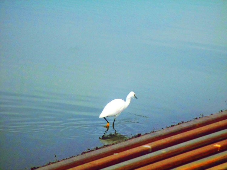 Animal Photography Bird EyeEm White Bird Pipelines Water Lake EyeEm Best Shots