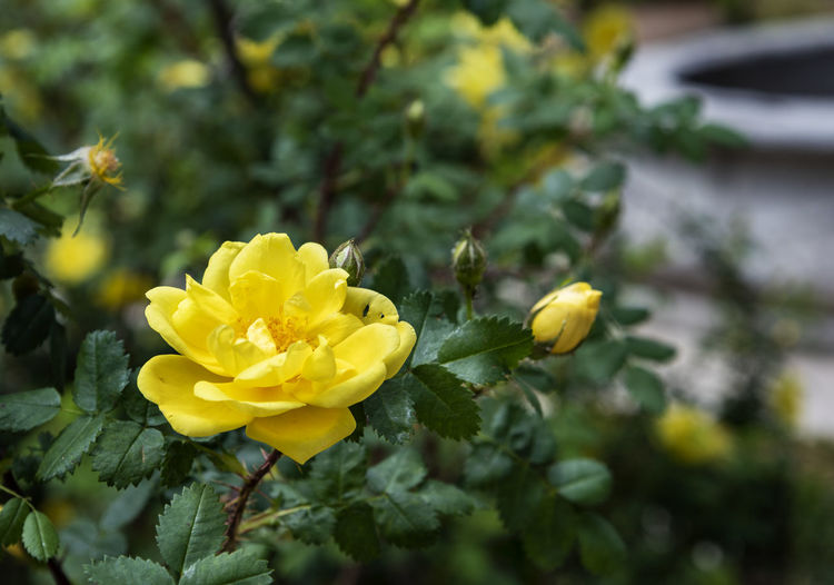 Beautiful Yellow rose at the botanical garden in spring Plant Flower Beauty In Nature Freshness Vulnerability  Close-up Nature No People Backgrounds Wallapaper Botanical Garden Flora Floral Colorful Fragance Blossom Blooming Spring Summer Botany Green Plants Yellow Rosé