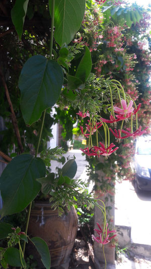 Beauty In Nature Close-up Day Flower Fragility Freshness Green Color Growth Hanging Leaf Nature No People Outdoors Plant Potted Plant Tree