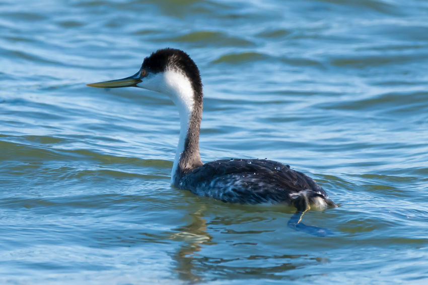 Western Grebes Swimming in the Pacific Ocean Photo Series Animals In The Wild Bird Photography Birds Of EyeEm  Birds🐦⛅ Birdwatching Grebe Swimming Nature Western Grebe Animal Photography Animal Themes Animal Wildlife Animals In The Wild Bird Bird Watching Birds_collection Day Gray Nature No People Ocean One Animal Outdoors Seabird Water White