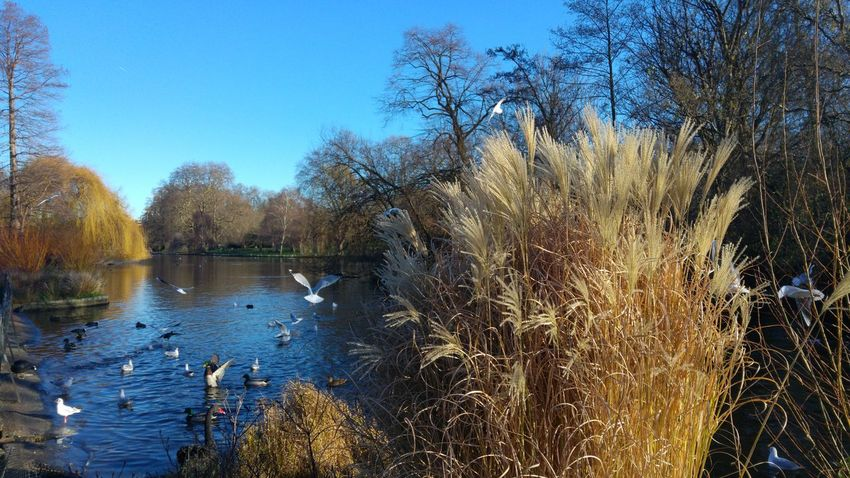 Taking Photos Bird Photography Nature_collection Birds🐦⛅ Nature_perfection Enjoying Life Landscape_photography Landscape_Collection St James Park London  Water Reflections Great Atmosphere Blue Wave Nature And Life