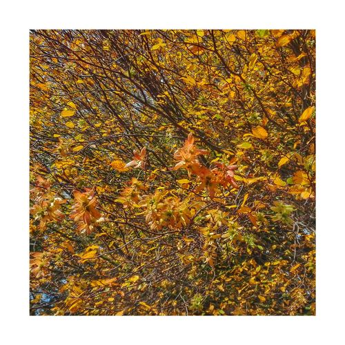 Autumn in Astley iii Pattern Gold Colored Astley Park Lancashire Chorley Beauty In Nature Outdoors Tree Growth Leaf Nature Autumn Branch Plant Lovelancashire Multi Colored No People Close-up White Background Ink Day Autumn🍁🍁🍁