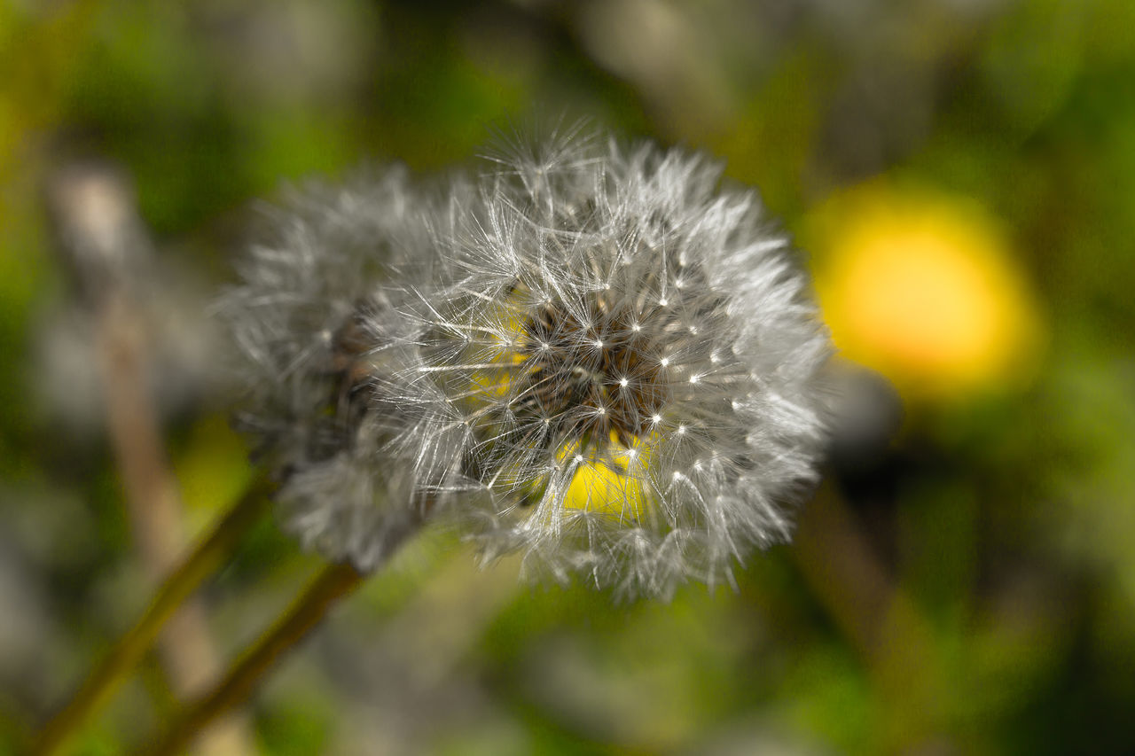 flower, fragility, nature, dandelion, growth, focus on foreground, close-up, plant, flower head, softness, outdoors, no people, beauty in nature, day, freshness, petal