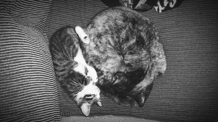 Our kitties, napping together perfectly. One kitten and one 14 year old cat, newly best friends. Night Night, Sleep Tight Cats Domestic Animals Family Pet Sweet Touching Innocent Sweet Kitten Monochrome Photography Cute Kitten Cutest Kitten Cutest Cats Best  Cutest Tender Moment Weekly Welcome