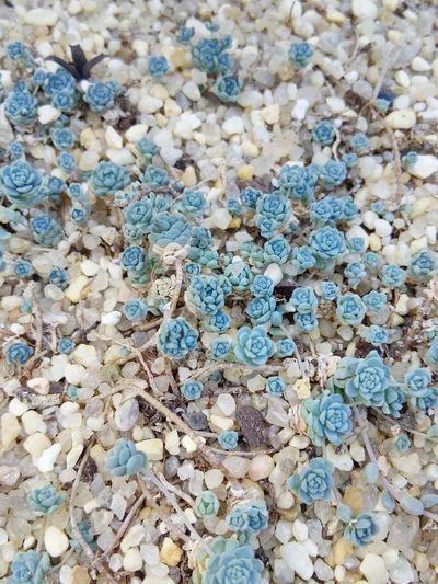 Plants And Flowers Succulents Blue