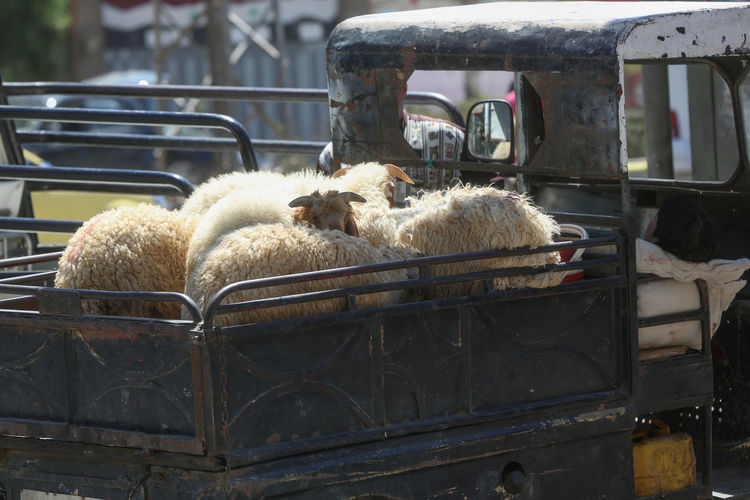 Sheep Standing In Vehicle